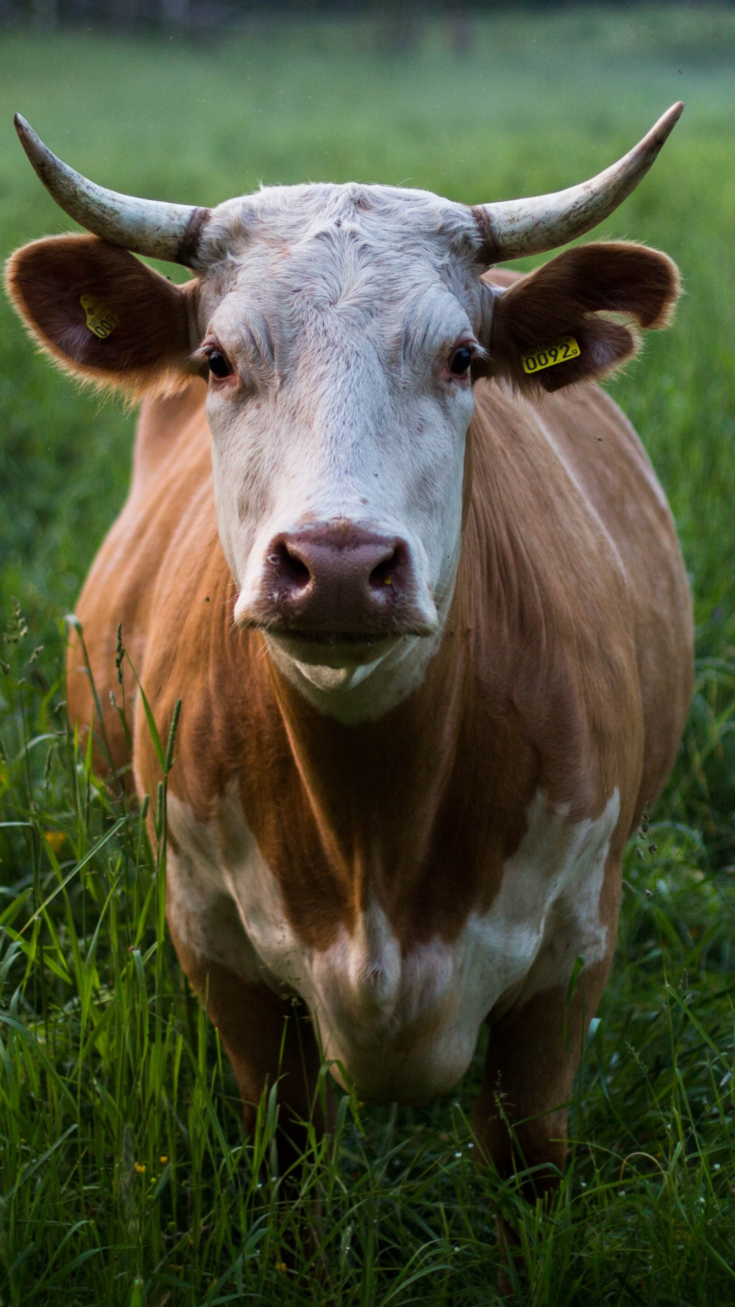 Cow In Grass Wallpaper Iphone Android Desktop Backgrounds