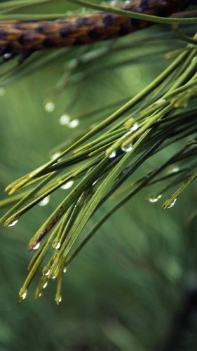 Dew on Pine Tree Mobile Wallpaper