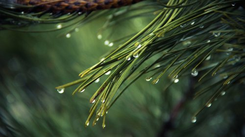 Dew on Pine Tree Wallpaper