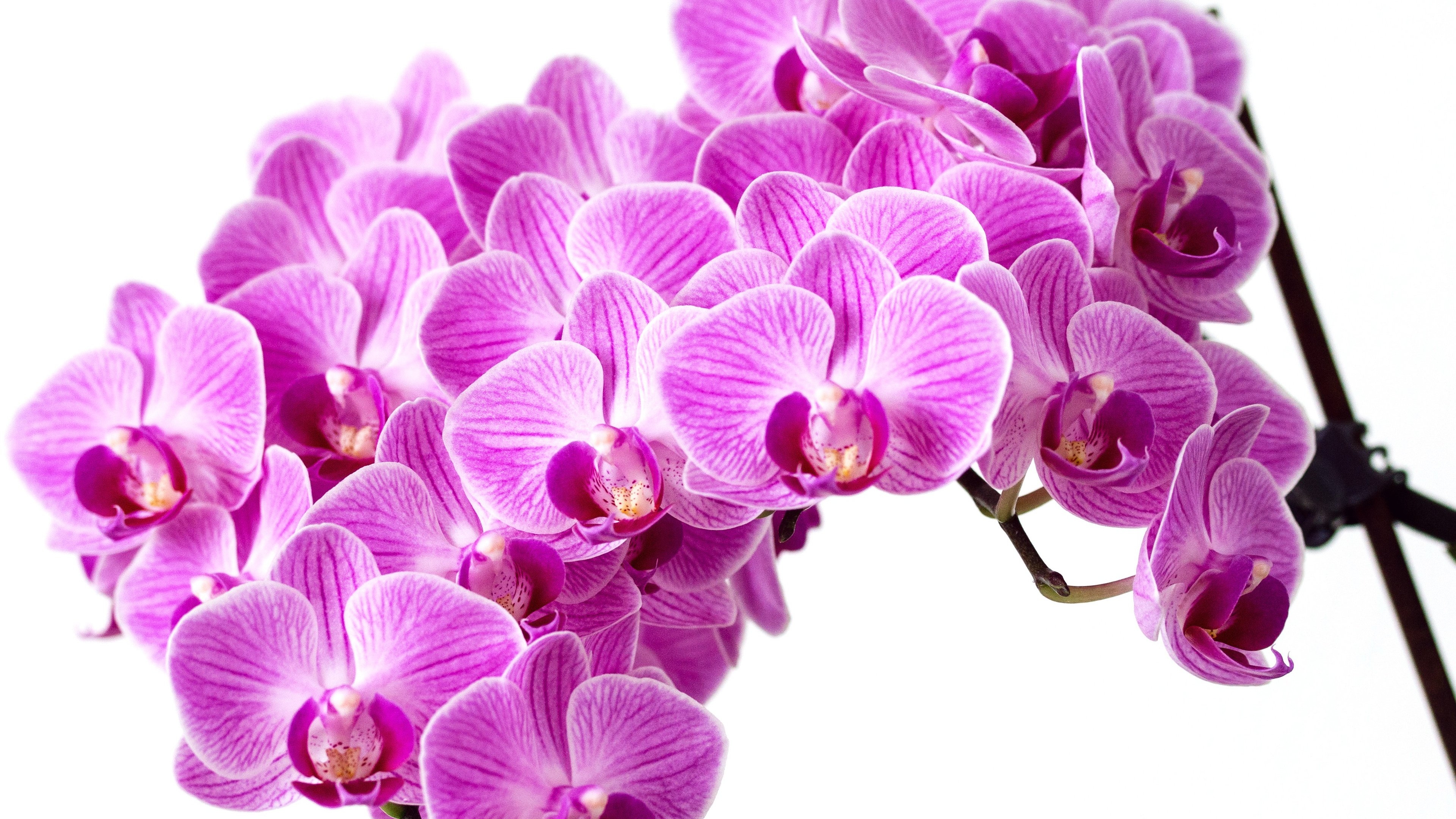 Purple Orchid Wallpaper Iphone Android Amp Desktop