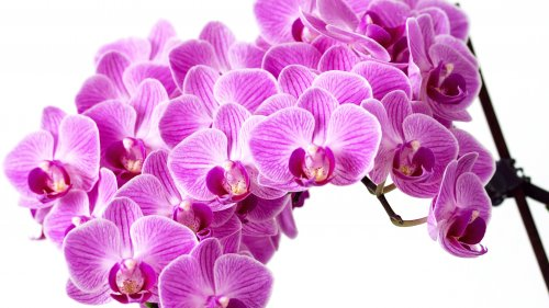 Purple Orchid HD Wallpaper