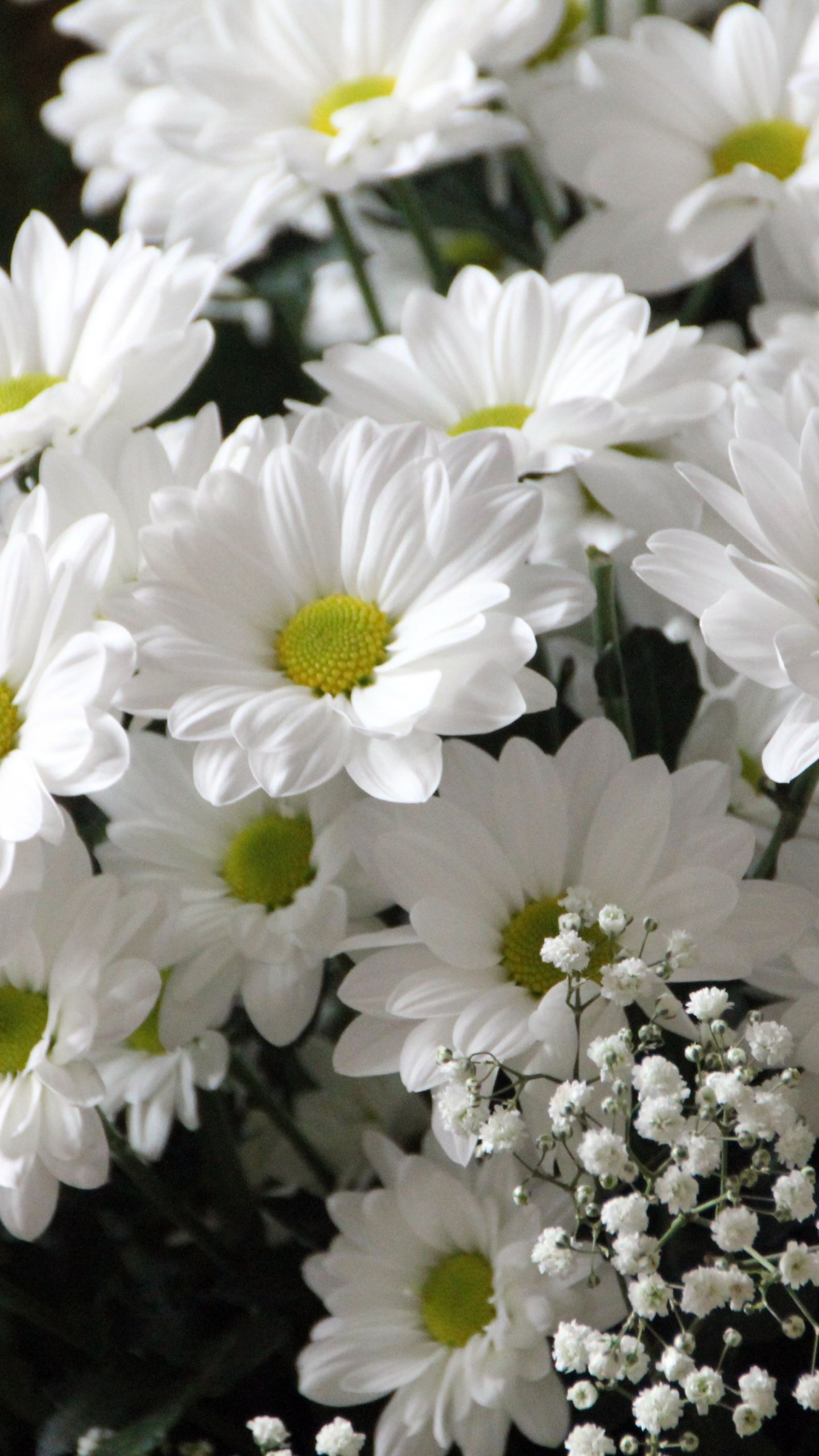 White Daisies Wallpaper Iphone Android Desktop Backgrounds