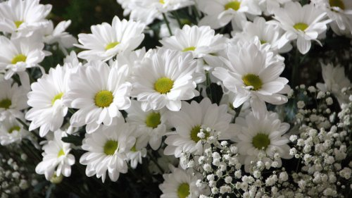 White Daisies Wallpaper
