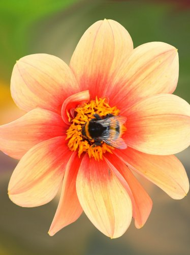 Dahlia Blossom with Bee