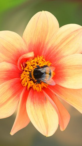 Dahlia Blossom with Bee Mobile Wallpaper