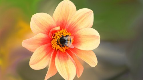 Dahlia Blossom with Bee HD Wallpaper