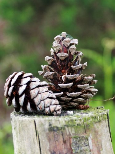 Fence Post Pine Cones