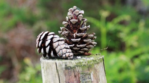 Fence Post Pine Cones Wallpaper