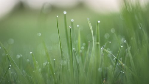 Green Dewey Grass HD Wallpaper