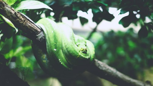 Tree Snake Wallpaper