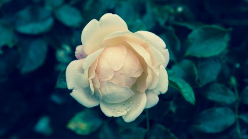 Pale Yellow Rose Wallpaper