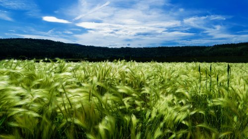 Green Cornfield and Sky Wallpaper