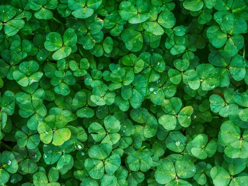 Irish Clovers  Wallpaper