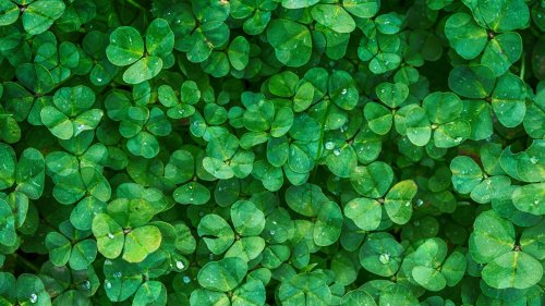 Irish Clovers HD Wallpaper