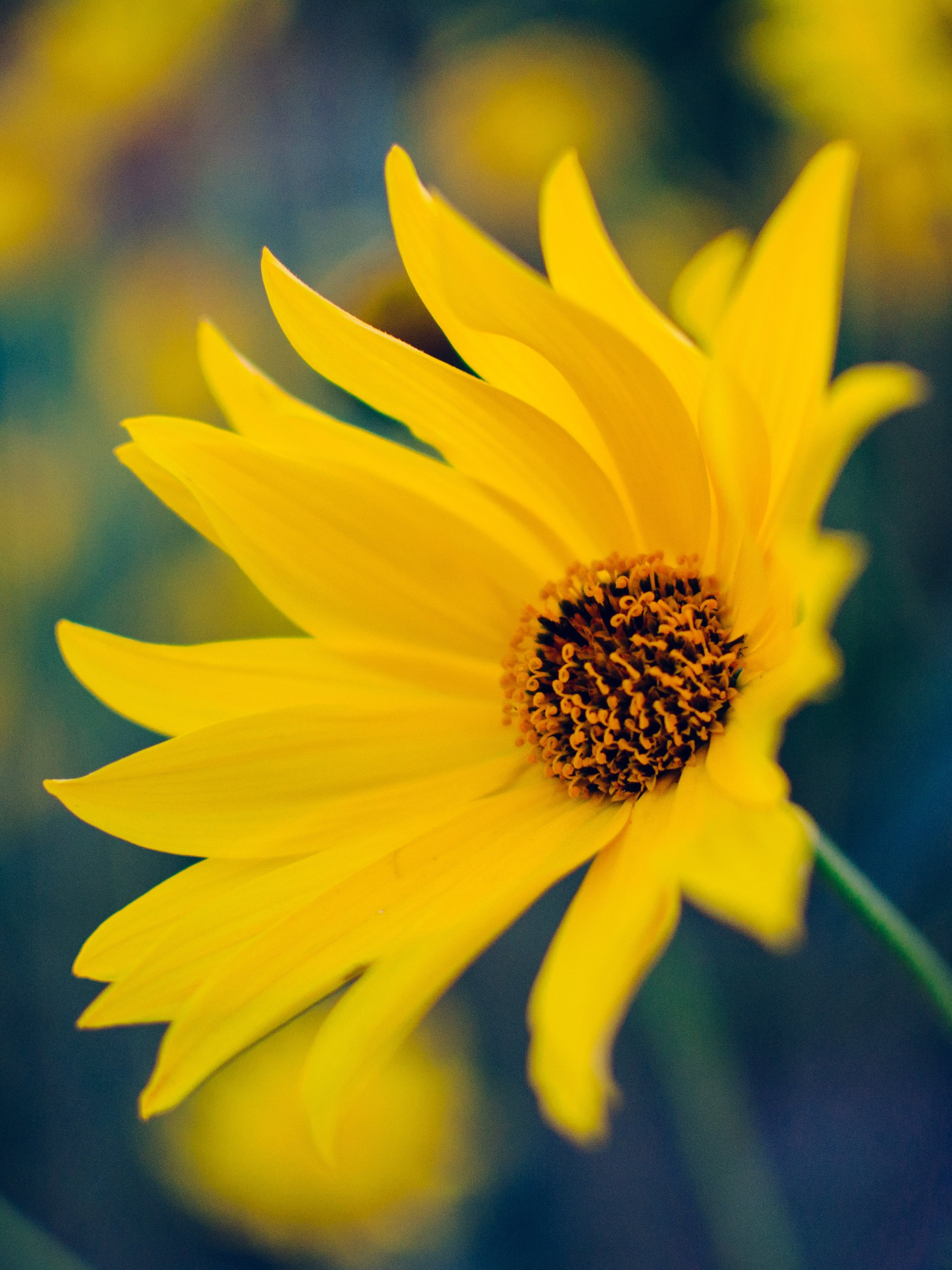 Yellow Flower Wallpaper , iPhone, Android \u0026 Desktop Backgrounds
