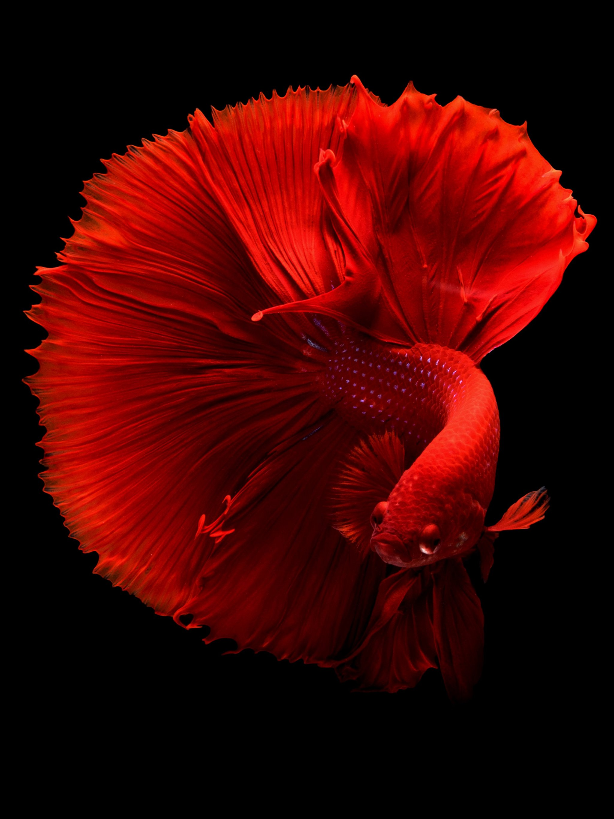 Siamese Fighting Fish Wallpaper - iPhone, Android ...