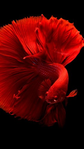 Siamese Fighting Fish Mobile Wallpaper