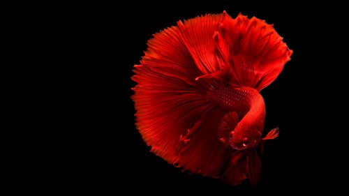 Siamese Fighting Fish HD Wallpaper