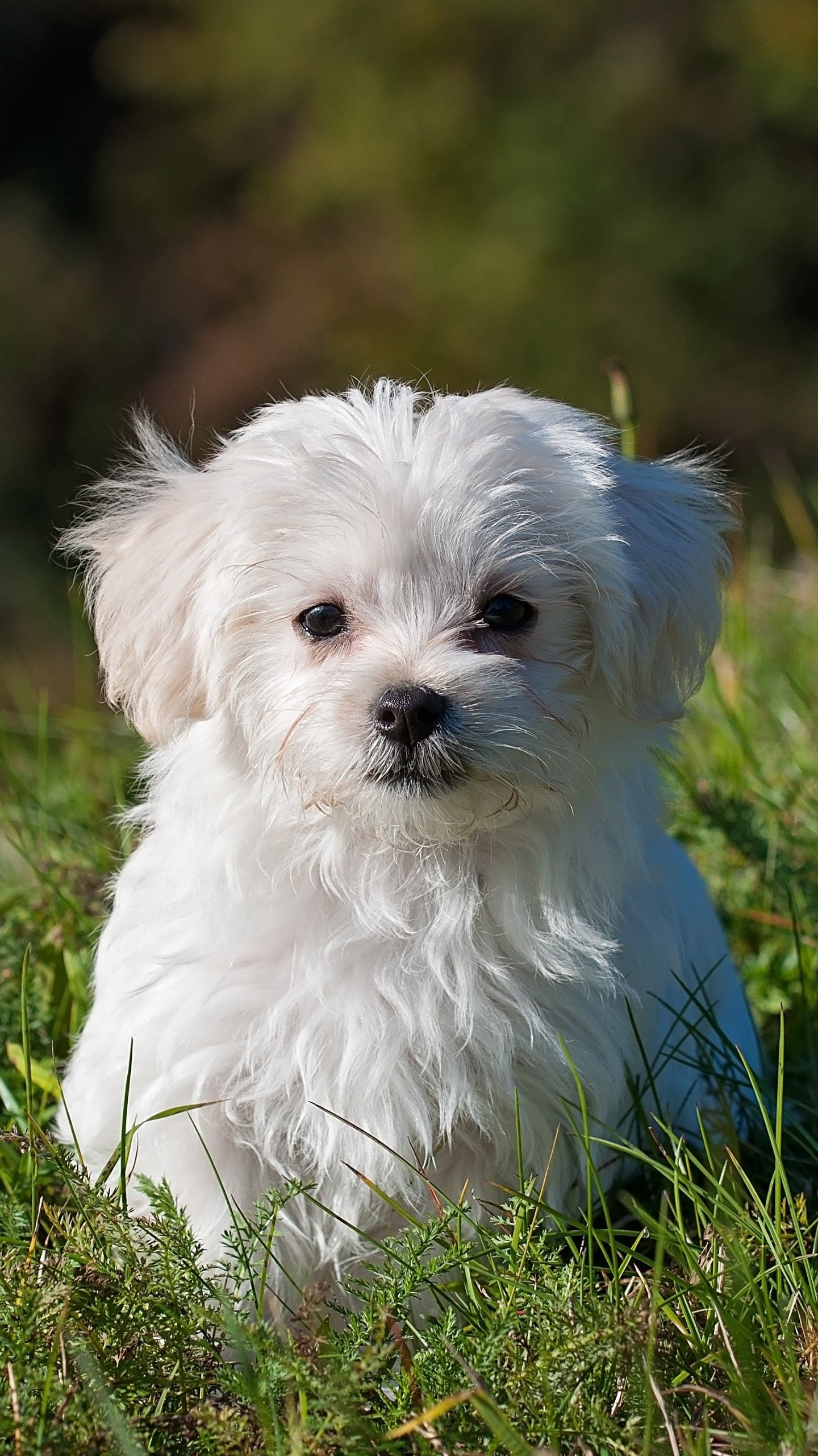 Maltese Puppy Wallpaper - iPhone