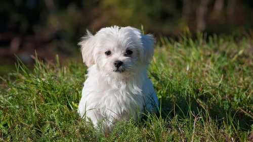 Maltese Puppy HD Desktop Wallpaper