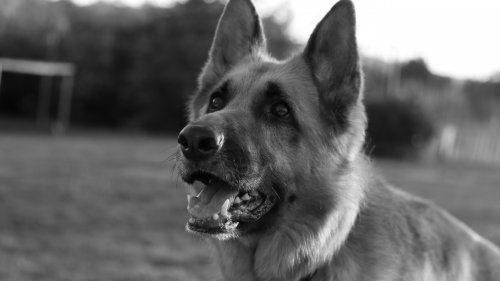 German Shepard HD Wallpaper
