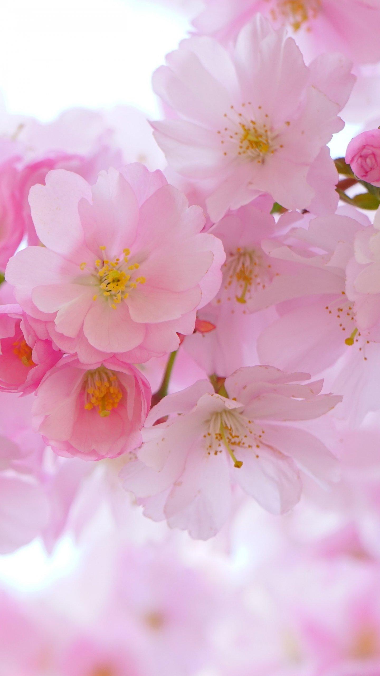 Cherry Blossom Wallpaper Mobile Desktop Background