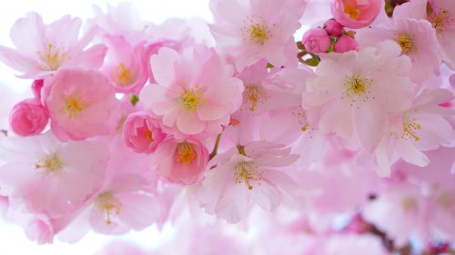 Cherry Blossom HD Wallpaper