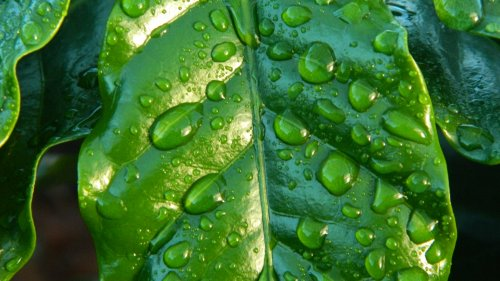 Raindrops on Leaf Wallpaper
