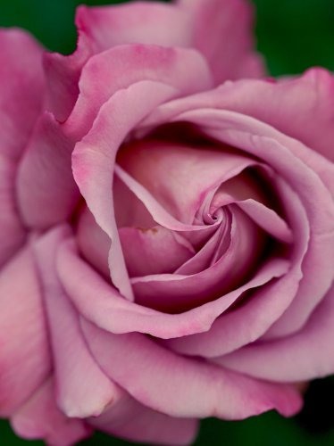 Dusty Pink Rose