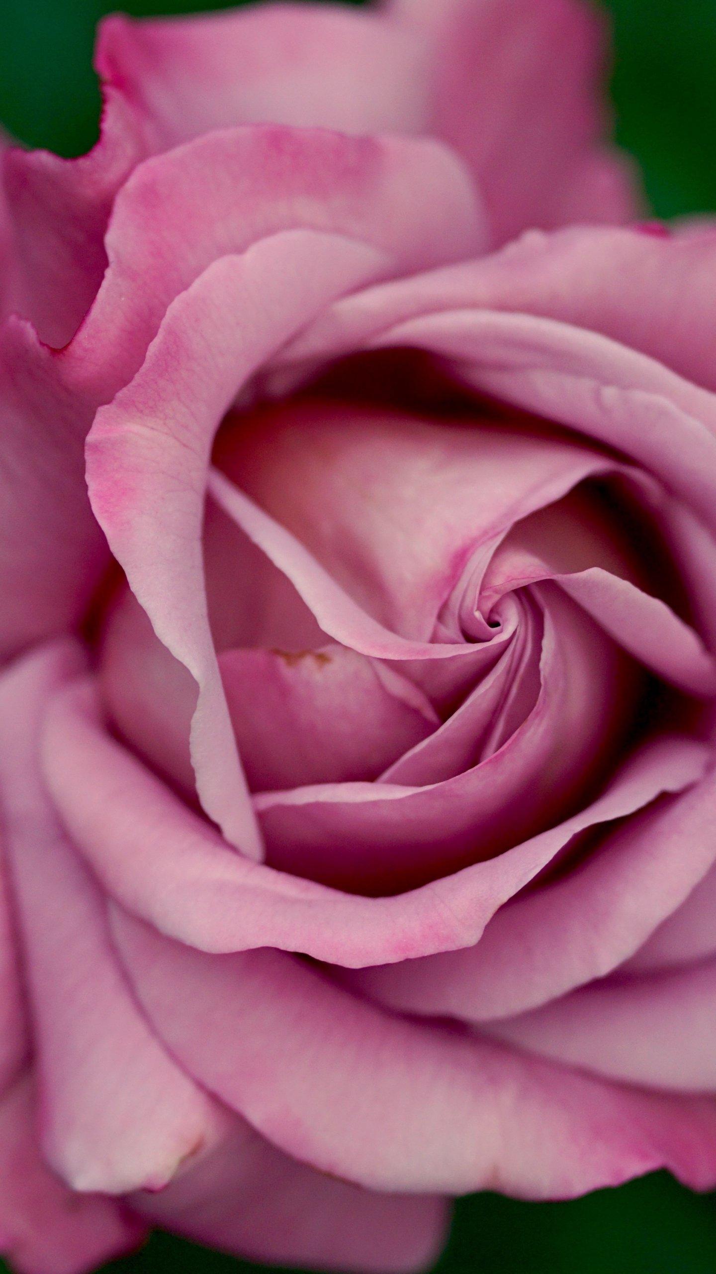Dusty pink rose wallpaper mobile desktop background - Pink rose hd wallpaper ...