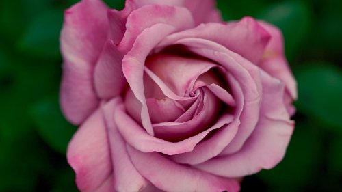 Dusty Pink Rose HD Wallpaper