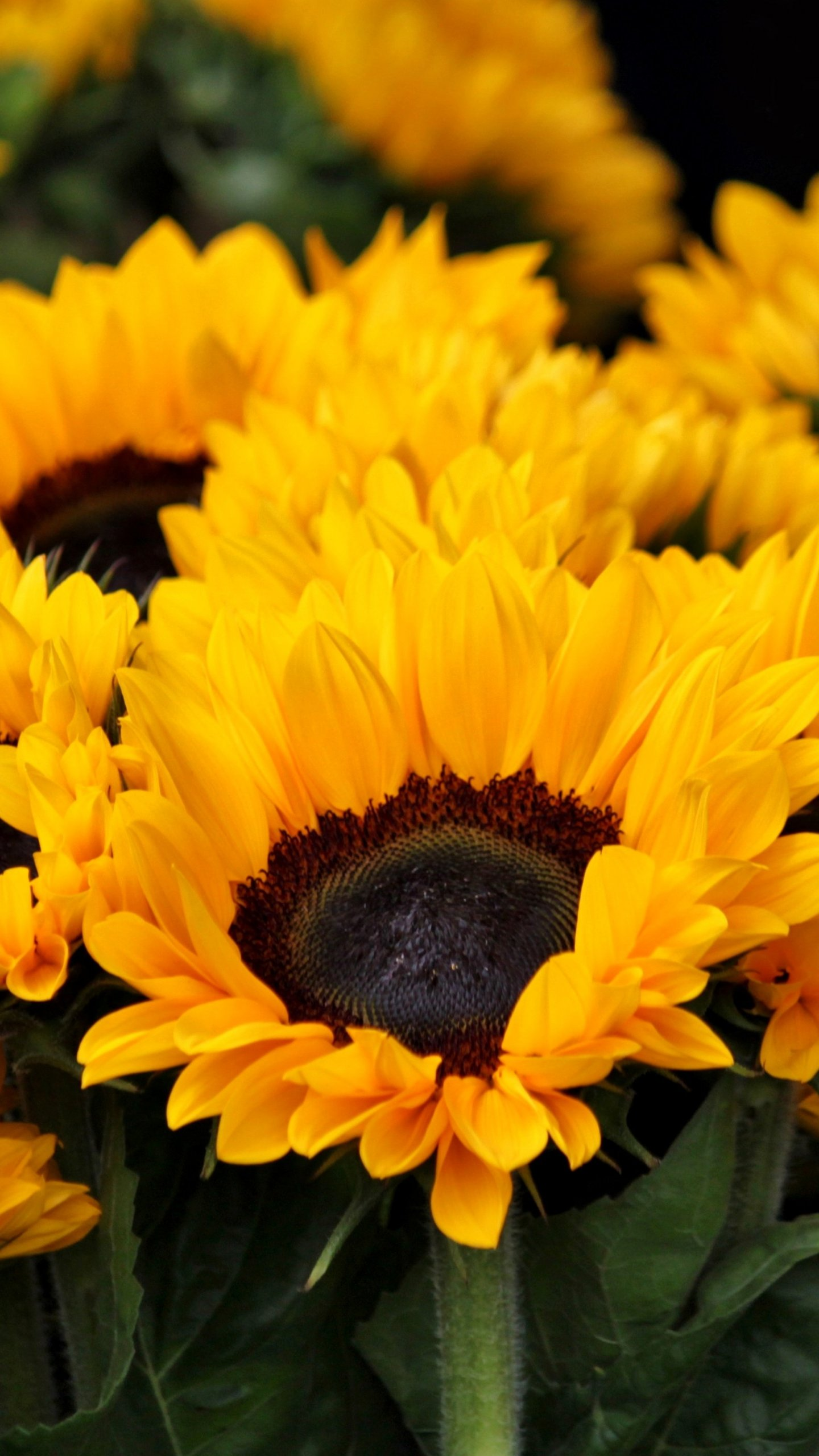 Sunflowers Wallpaper Iphone Android Desktop Backgrounds