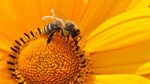 Bee on Sunflower HD Wallpaper