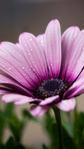 Dew on Purple Daisy