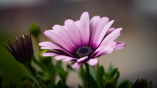 Dew on Purple Daisy HD Wallpaper
