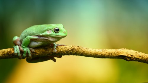 Green Frog HD Wallpaper