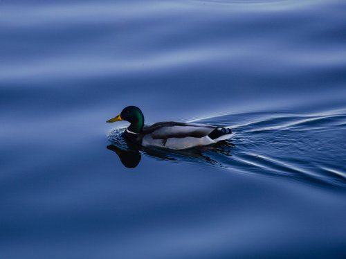 Duck on Blue Water  Wallpaper