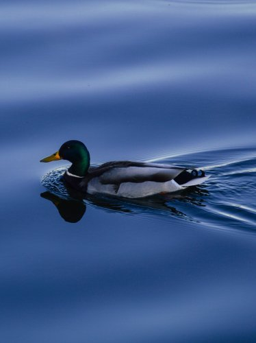 Duck on Blue Water