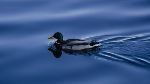 Duck on Blue Water HD Wallpaper