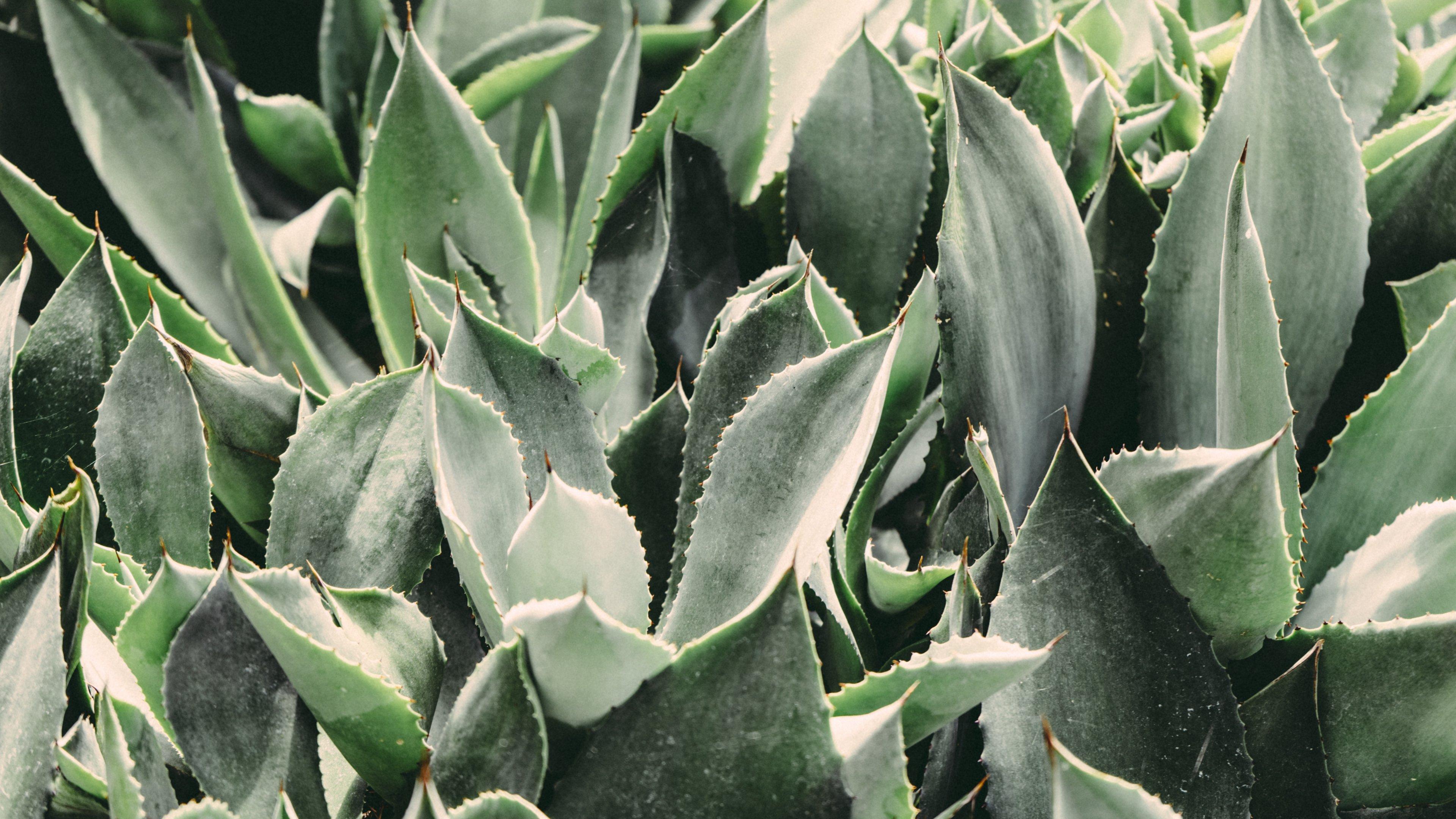 Cactus Leaves Wallpaper