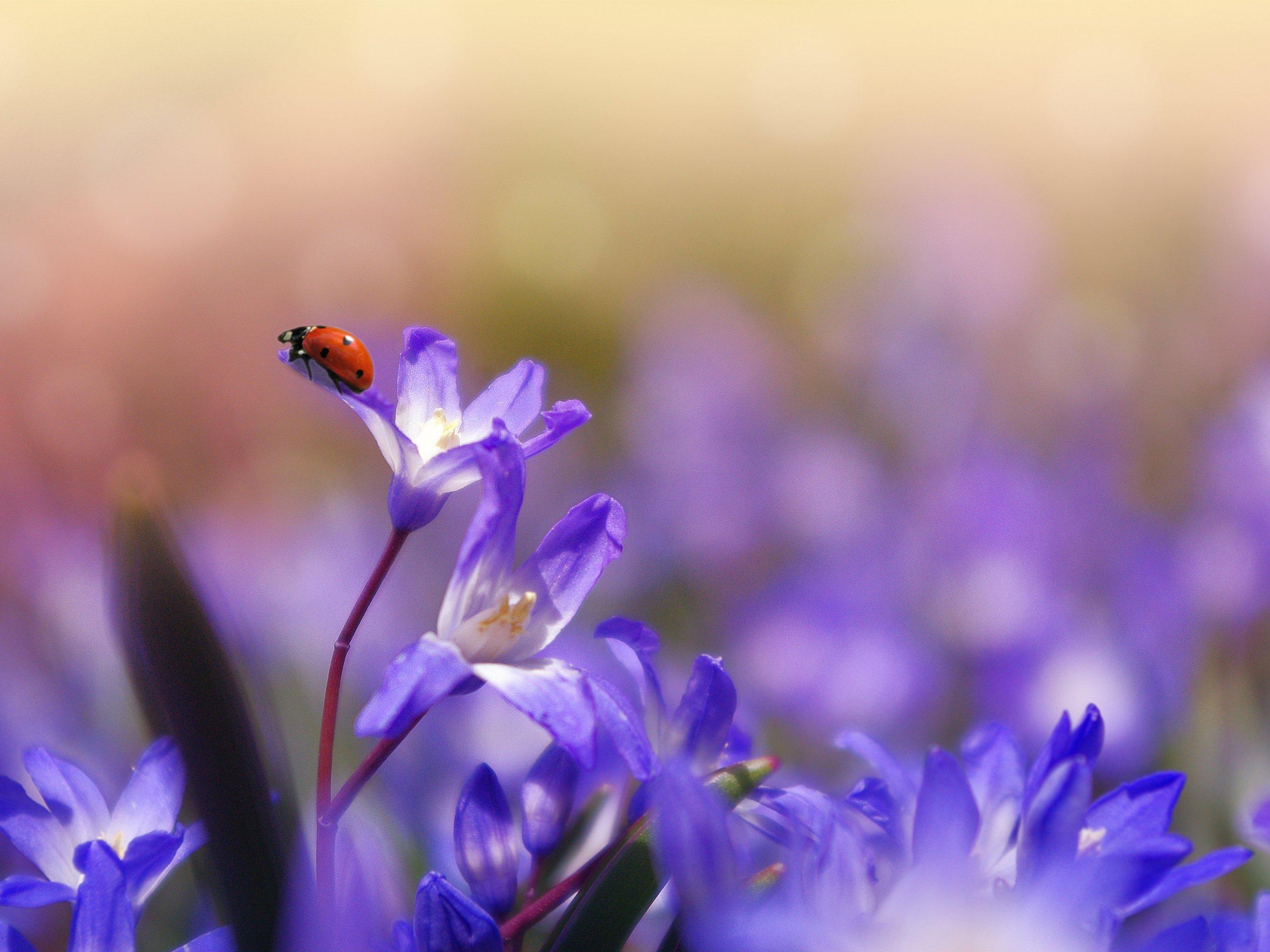 Iphone Android Desktop: Ladybug On Purple Flower Wallpaper