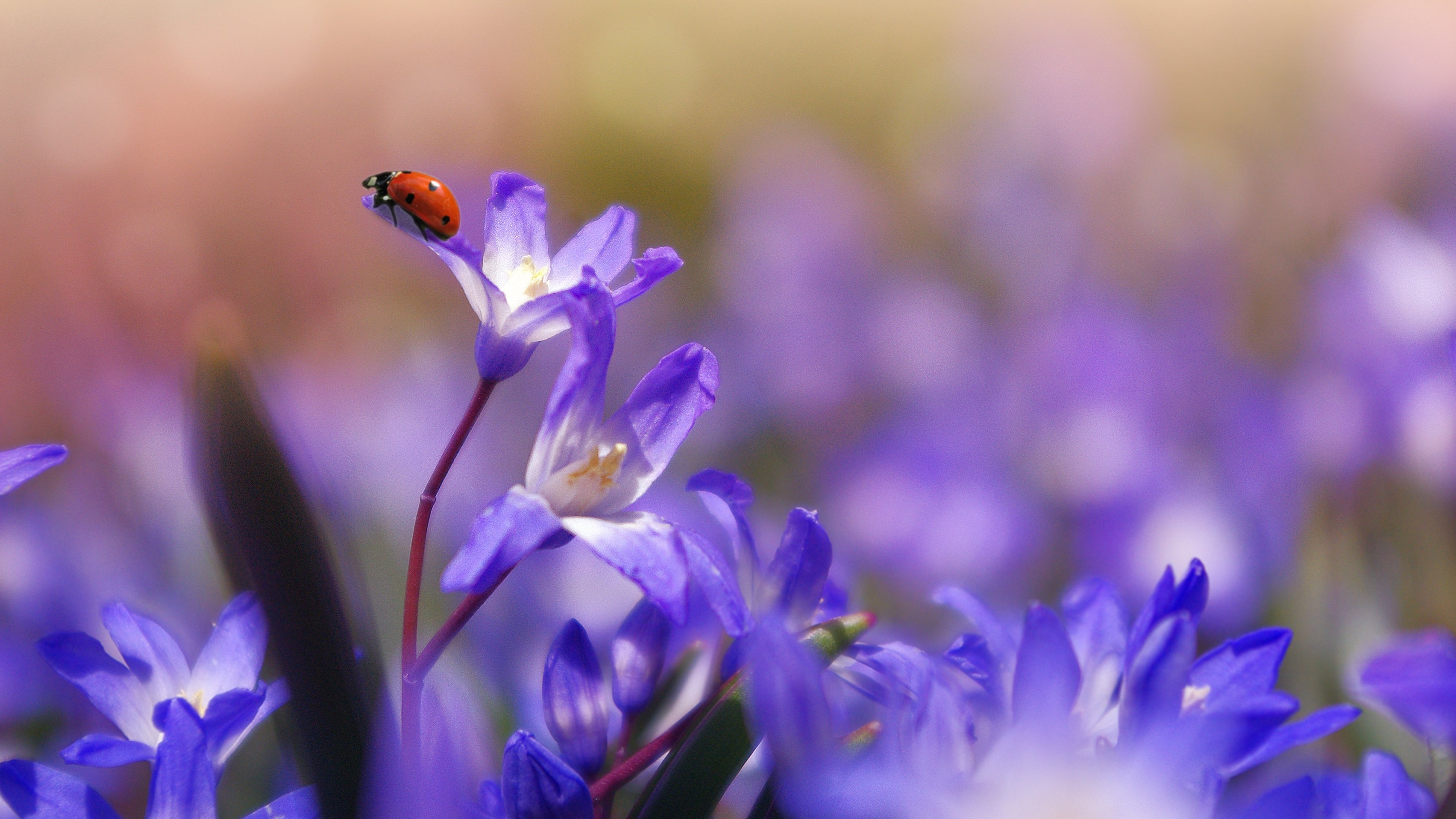 ladybug on purple flower wallpaper - mobile & desktop background