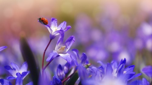 Ladybug on Purple Flower HD Wallpaper
