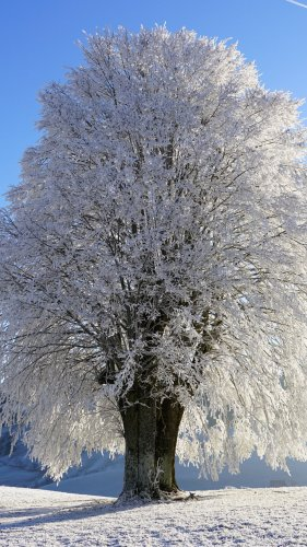 Tree in Snow Mobile Wallpaper