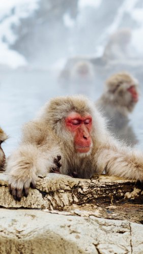 Snow Monkey Mobile Wallpaper