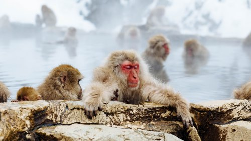 Snow Monkey HD Desktop Wallpaper