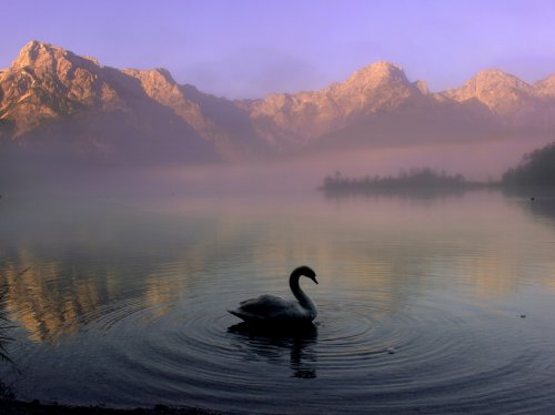 Swan in Mountain Lake  Wallpaper