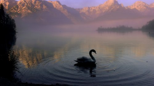 Swan in Mountain Lake HD Desktop Wallpaper