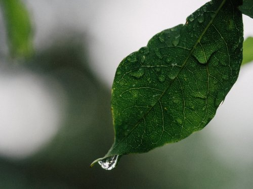 Drops of Water on Leaf  Wallpaper