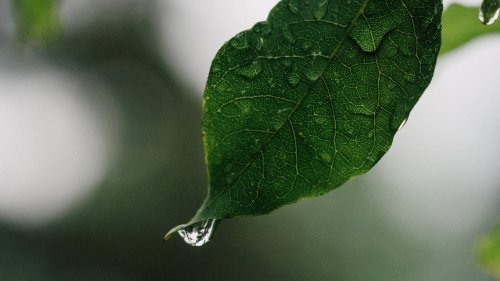 Drops of Water on Leaf
